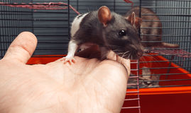 Petit rat Photos stock