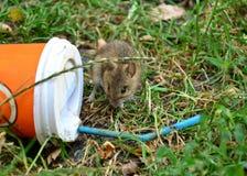 Petit rat regardant la tasse en plastique jetée sur l'herbe photo stock