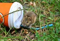 Petit rat se reposant sur une tasse en plastique jetée sur l'herbe Image stock
