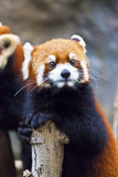 Petit regard de panda rouge Photos libres de droits