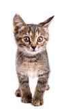 Petit regard gris de chaton à l'appareil-photo d'isolement sur le fond blanc Image libre de droits