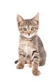 Petit regard gris de chaton à l'appareil-photo d'isolement sur le fond blanc Photographie stock