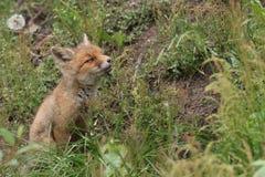 Petit renard rouge Images libres de droits