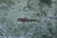 Petit requin dans l'eau Photo stock