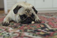 Petit roquet triste de race de chien s'étendant sur le tapis avec le biscui de chiens Photographie stock libre de droits