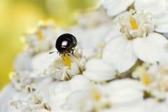 Petit scarabée noir Photographie stock libre de droits