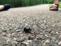 Petit scarabée noir image stock