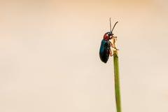 Petit scarabée noir sur une lame d'herbe Image stock