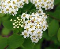 Petit scarabée sur fleurs Images stock