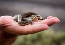 Petit serpent d'herbe Photos stock