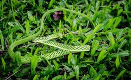 Petit serpent vert rugueux Image libre de droits