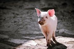 Petit seul porc sale photographie stock