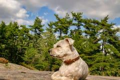 Petit shih-tzu de yorkie connu sous le nom de chien de shorkie haletant dans des WI d'herbe photo libre de droits