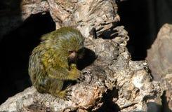 Petit singe Photographie stock libre de droits