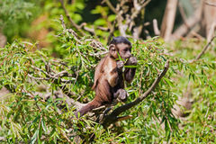 Petit singe Photo stock
