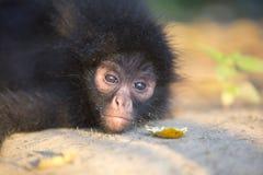 Petit singe d'araignée noir en parc national de Madidi, Bolivie Image libre de droits