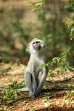 Petit singe en nature sauvage de l'Afrique image libre de droits