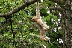 Petit singe pelucheux Image libre de droits