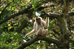 Petit singe pelucheux Photo libre de droits