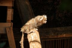 Petit singe populairement connu sous le nom de Sagittaire Blanc-coup? la queue, jacchus de Callithrix photo stock