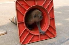 Petit singe regardant hors d'un cône du trafic Photos stock