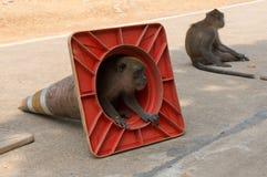 Petit singe regardant hors d'un cône du trafic Image stock