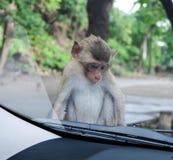 Petit singe se reposant sur le capot de voiture Photo libre de droits