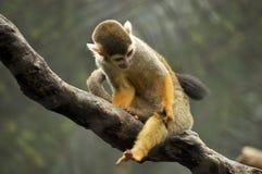 Petit singe se reposant sur une vigne Images libres de droits
