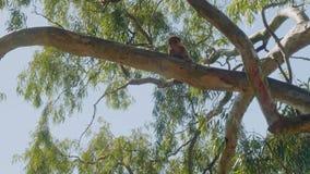 Petit singe seul se reposant sur la branche épaisse du grand arbre sur le rocher de Gibraltar contre le ciel bleu banque de vidéos