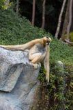 Petit singe sur une pierre Photographie stock libre de droits