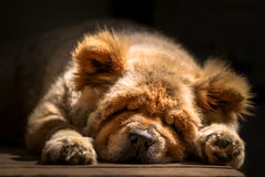Petit somme - chow-chow Images stock