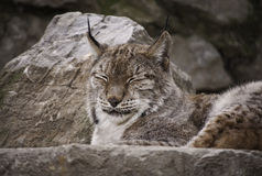Petit somme eurasien de Lynx Photos stock
