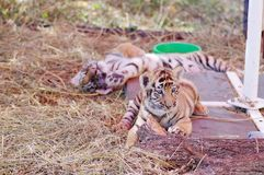 Petit sommeil de tigre de Bengale du bébé deux image libre de droits