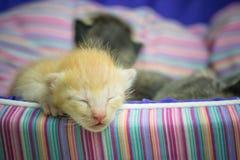 Petit sommeil mignon de chat Image stock
