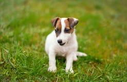 Petit sourire junior de terrier de Jack Russell dans l'herbe image stock