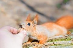 Petit squirell mignon prenant l'écrou de la main de personne Animal humain et sauvage d'amitié oh Faune et harmonie et confiance  Photo stock