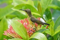 Petit sunbird soutenu par l'olive recherchant le nectar des fleurs Photographie stock libre de droits