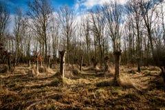 Petit support des chênes pollarded Photographie stock libre de droits