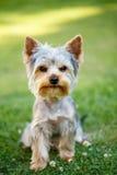 Petit terrier de Yorkshire mignon Photos libres de droits