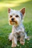 Petit terrier de Yorkshire mignon Image libre de droits