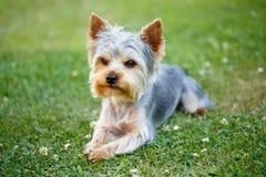 Petit terrier de Yorkshire mignon Images stock