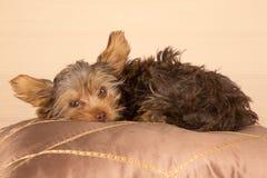 Petit terrier de Yorkshire mignon fatigué se reposant sur le cushio brun doux images stock