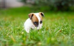 Petit terrier junior de Jack Russell se reposant dans l'herbe images stock