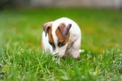 Petit terrier junior de Jack Russell sentant et se reposant dans l'herbe image libre de droits