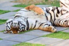 Petit tigre Photos stock