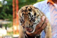 Petit tigre mignon Images libres de droits