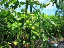 Petit tomater Royaltyfri Foto