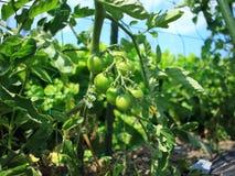 Petit tomatoes Royalty Free Stock Photo
