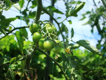 Petit tomatoes Stock Images
