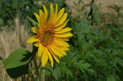 Petit tournesol jaune dans la photo de plan rapproché de champ Photo libre de droits